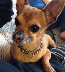 Chihuahua Dog For Adoption in Milk River, AB, USA