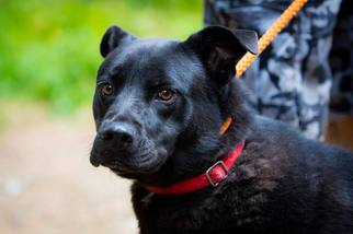 Chow Chow-Labrador Retriever Mix Dog For Adoption in Rockaway, NJ, USA