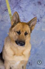 German Shepherd Dog Mix Dog For Adoption in Princeton, MN