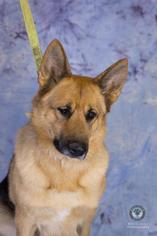 German Shepherd Dog Mix Dog For Adoption in Princeton, MN, USA