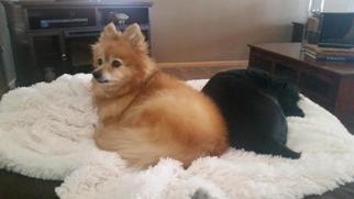Pomeranian Dog For Adoption in Fargo, ND