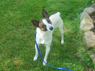 Jack-Rat Terrier Dog For Adoption in Columbia, TN, USA