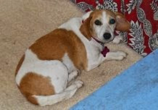 Beagle Mix Dog For Adoption in Rayville, LA, USA