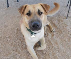 Canaan Dog Mix Dog For Adoption in Encino, CA, USA