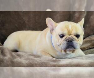 View Ad French Bulldog Dog For Adoption Near Colorado Bon Carbo Usa Adn 298508