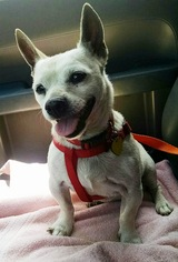 Chihuahua Dog For Adoption in Los Angeles, CA