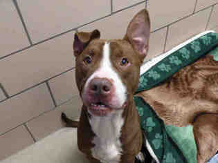 American Pit Bull Terrier Dog For Adoption in Fort Wayne, IN, USA