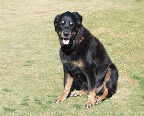 Rottweiler Dog For Adoption in Irvine, CA, USA