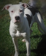 American Pit Bull Terrier-Labrador Retriever Mix Dog For Adoption in Hesperia, CA, USA