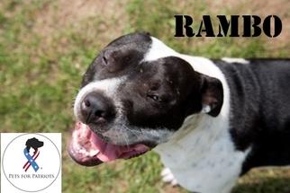 American Bulldog-American Staffordshire Terrier Mix Dog For Adoption in Belleville, MI, USA