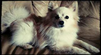 Pomeranian Dog For Adoption in Delaware, OH, USA
