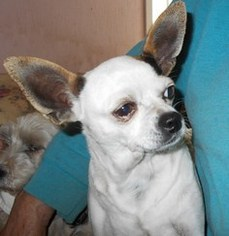 Chihuahua Mix Dog For Adoption in Albany, OR
