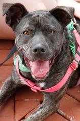 Plott Hound Mix Dog For Adoption in Washington, DC, USA