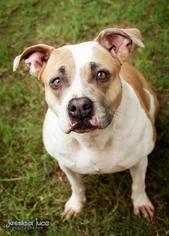 American Pit Bull Terrier-Labrador Retriever Mix Dog For Adoption in Stone Mountain, GA, USA