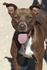 American Pit Bull Terrier Dog For Adoption in Kanab, UT, USA