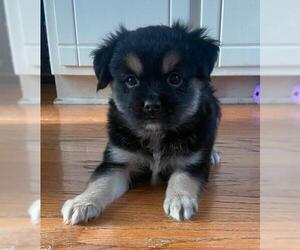 Peke-A-Poo Dogs for adoption in Plainfield, IL, USA