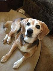 Beagle Dog For Adoption in Canterbury, NH, USA