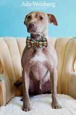 American Pit Bull Terrier-Labrador Retriever Mix Dog For Adoption in San Francisco, CA