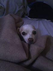 Chihuahua Dog For Adoption in Fresno, CA, USA