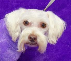 Havanese Mix Dog For Adoption in REDDING, CA, USA