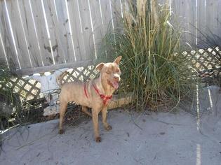 American Pit Bull Terrier-Australian Terrier Mix Dog For Adoption in Bertram, TX, USA