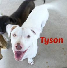 Basset Hound-Labrador Retriever Mix Dog For Adoption in San Antonio, TX, USA