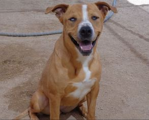 Bogle Dog For Adoption in Chandler, AZ, USA