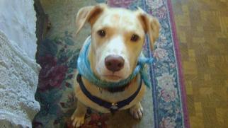 Labrador Retriever Dog For Adoption in Rancho Santa Margarita, CA, USA