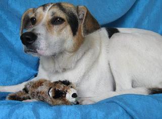 English Foxhound Mix Dog For Adoption in Cuba, NY, USA