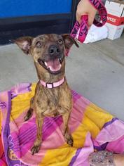 View Ad Italian Greyhound Plott Hound Mix Dog For Adoption North