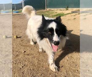 Australian Shepherd Dogs for adoption in San Martin, CA, USA