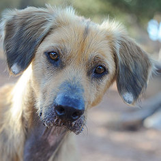 Afghan Hound Mix Dog For Adoption in Kanab, UT, USA