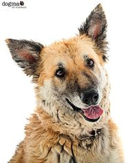 German Shepherd Dog Dog For Adoption in Irvine, CA