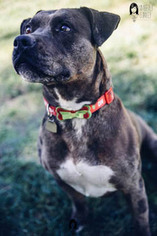 American Staffordshire Terrier-Catahoula Leopard Dog Mix Dog For Adoption in Ventura, CA