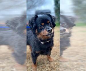 Dameranian Dogs for adoption in Dallas, TX, USA