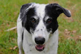 View Ad: Afghan Hound-Border Collie Mix Dog for Adoption