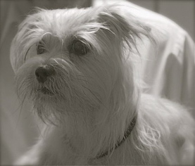 Shih Tzu Mix Dog For Adoption in Weston, FL, USA
