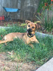 Whippet Dog For Adoption in Lakeport, CA, USA