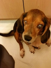 Beagle Mix Dog For Adoption in Marathon, RI