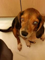 Beagle Mix Dog For Adoption in Marathon, RI, USA