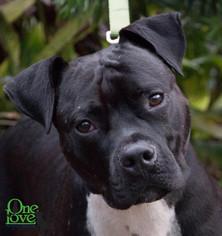 American Pit Bull Terrier Mix Dog For Adoption in savannah, GA, USA