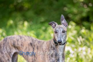 Greyhound Dog For Adoption in Dallas, TX, USA