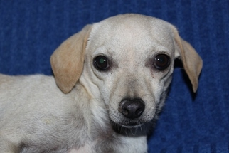 Chihuahua Mix Dog For Adoption in Phelan, CA, USA