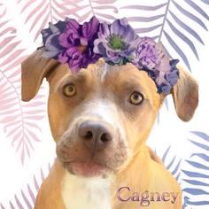 Lab-Pointer Dog For Adoption in Huntington Beach, CA