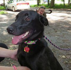 Labrador Retriever Dog For Adoption in Rockaway, NJ