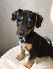 dachshund and jack russell mix