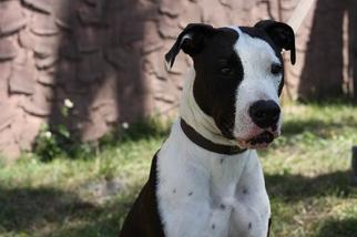 Bull Terrier Dog For Adoption in Sanford, FL