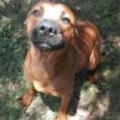 Labrador Retriever-Rhodesian Ridgeback Mix Dog For Adoption in Leesburg, FL