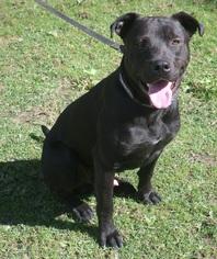American Pit Bull Terrier-Labrador Retriever Mix Dog For Adoption in Ceres, VA, USA
