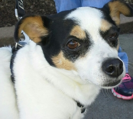 Chihuahua Dog For Adoption in Winder, GA, USA